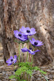 Blue anemone (coronaria or Mr. Fokker). Under the root of a big tree stock image