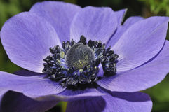 Blue Anemone Stock Photography