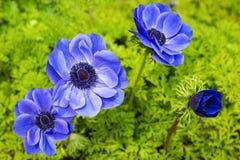 Blue anemone flower. Beautiful blue anemone flower in full bloom stock photos