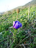 Blue anemone flower with bud Royalty Free Stock Photos