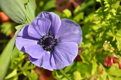 Blue anemone Royalty Free Stock Photography