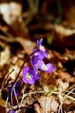 Blue anemone Royalty Free Stock Photo