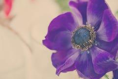 Blue  anemone flowers Royalty Free Stock Image