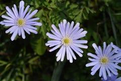 Blue anemone. Flowers - Latin name - Anemone apennina royalty free stock images