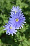 Blue anemone flowers. Latin name - Anemone apennina stock photos