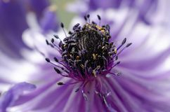 Blue Anemone Macro/ Anemone coronaria/ Flowering Bulbs royalty free stock photography