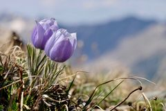 Blue Anemone. Pasque Flower or Pulsatilla. Royalty Free Stock Image