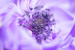 Blue Anemone Royalty Free Stock Photos