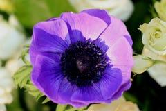 Blue anemone in sunlight. Bridal bouquet in white and blue: Blue anemone in sunlight stock photos