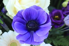 Blue anemone in sunlight. Bridal bouquet in white and blue, Blue anemone in sunlight royalty free stock image