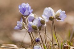 Blue anemones Stock Images