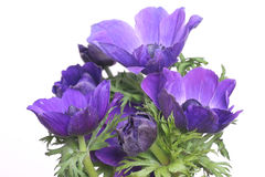 Blue anemones Royalty Free Stock Image