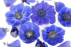 Blue Anemones in bed of milk Royalty Free Stock Photo