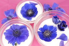 Blue Anemones in buttermilk on pink background Stock Images