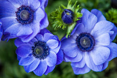 Blue Anemones close up. Three blue Anemones close up Stock Images