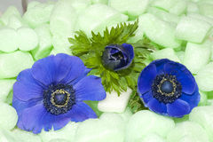 Blue Anemones in green isolation foam Royalty Free Stock Image