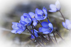 Blue anemones Royalty Free Stock Images