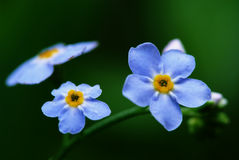 Blue angel's-eye flowers (Veronica chamaedrys) Stock Photo