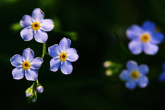 Blue angel's-eye flowers (Veronica chamaedrys) Stock Images