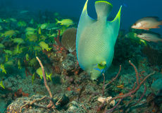 Blue Angelfish Stock Photography
