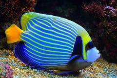 Blue Angelfish. Blue Pomacanthus annularis in Aquarium stock photos
