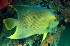 Blue Angelfish royalty free stock images