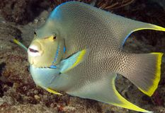 Blue Angelfish. Pomacanthus bermudensis, picture taken in south east Florida Royalty Free Stock Image