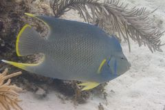 Blue Angelfish on Coral Reef royalty free stock photo
