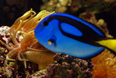 Blue angelfish in gold anemone. Blue angelfish  in anemone and coral tank Royalty Free Stock Images