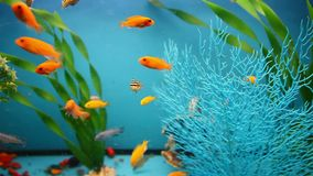 Blue aquarium background calm fish swim grass. Blue aquarium  background calm fish swim grass saver video stock video