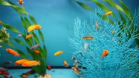 Blue aquarium background calm fish swim grass stock footage