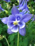 Blue aquilegia Stock Images