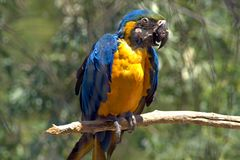 Blue ara. The Ara macaws are large striking parrots with long tails. The Ara macaws are large striking parrots with long tails, long narrow wings and vividly stock image