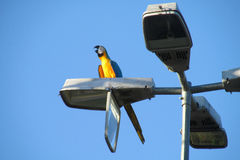 Blue ara parrot on city light. Blue and yellow ara parrots on city light in tropic, Brazil Royalty Free Stock Photography