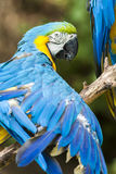 Blue Ara Parrot Detail. Blue Ara Parrot on Branch Detail royalty free stock images
