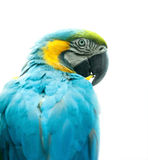 Blue ara parrot isolated on white Royalty Free Stock Images
