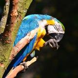 Blue ara parrot Stock Photos