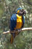 Blue ara parrot. Ara is tribe of neotropical parrots. The Ara macaws are large striking parrots with long tails, long narrow wings and vividly coloured plumage royalty free stock photo