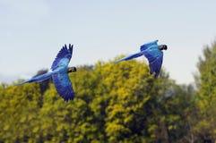 Blue aras stock image