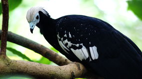 A blue arbori. [1], or white-capped guan [2] Latin Pipile pipile is a rare bird of the Kraks family. The endemic of the Caribbean island of Trinidad, inhabiting Stock Images