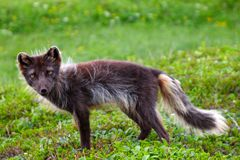 Blue Arctic Fox (Alopex lagopus semenovi) Royalty Free Stock Photo