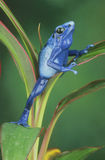 Blue Arrow Poison Frog Stock Photos