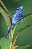 Blue Arrow Poison Frog stock photos