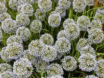 Blue Artificial Giant Onion Flower or Allium Giganteum Royalty Free Stock Images