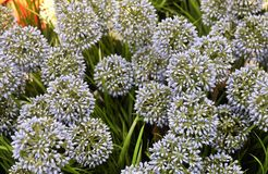 Blue Artificial Giant Onion Flower or Allium Giganteum Stock Photography