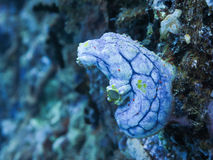 Blue Ascidian in Coral Garden, Great Barrier Reef, Australia Stock Image