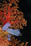 Blue ascidians and red coral. This underwater picture was taken off Maratua island, East Kalimantan, Borneo Indonesia Royalty Free Stock Photos