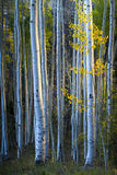 Blue Aspens With Morning Sunlight And Fall Yellow Stock Photos