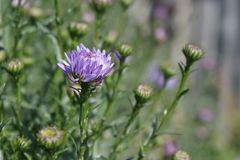 Blue Aster Royalty Free Stock Photos