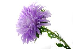 Blue Aster Royalty Free Stock Photography